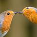 Robins kiss crop 03.04.20