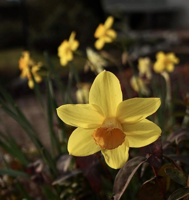 Narcisses ds mon jardin