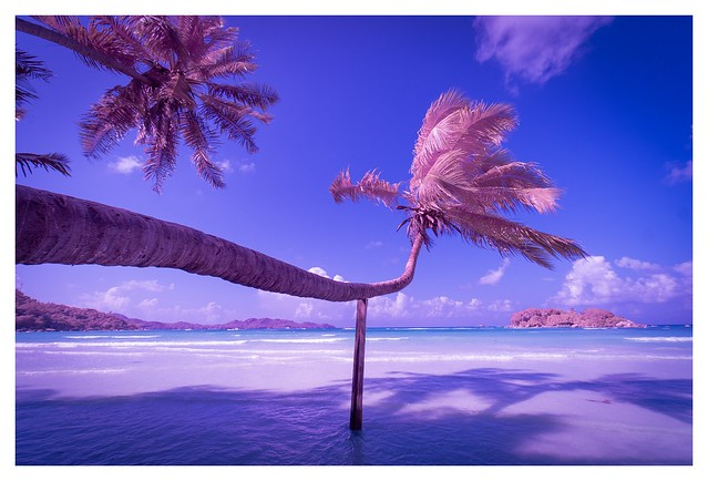 The Pink Palm (Infrared)