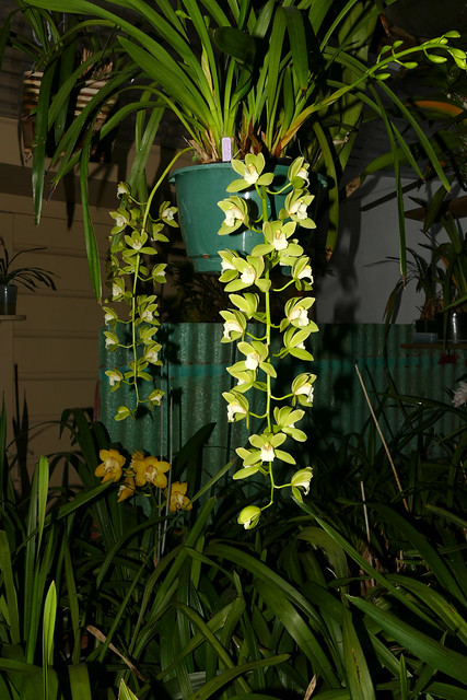 Cymbidium Orchid Conference 'Tamiko' hybrid orchid 3-20