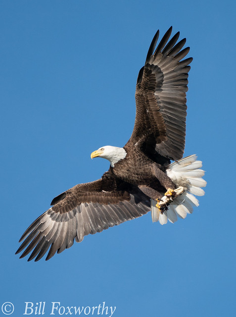 Sony A9,     Bald Eagle,     DSC00691,   February 24, 2020,  1-1600 sec at f - 8.0,   ISO 640         -