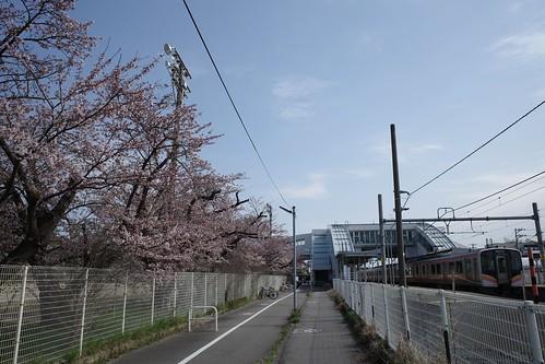 内野の桜 2020