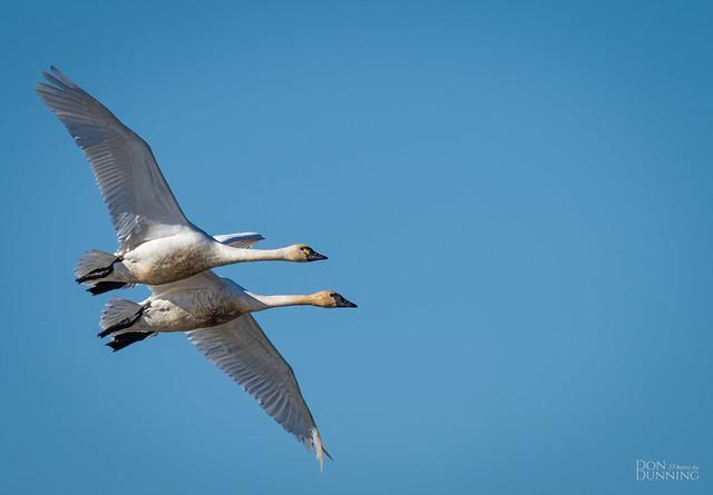 Tundra Swans (Whistling) (Cygnus columbianus columbianus)