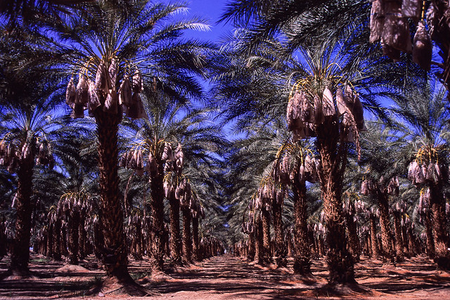 palms. mecca, ca. 2019.