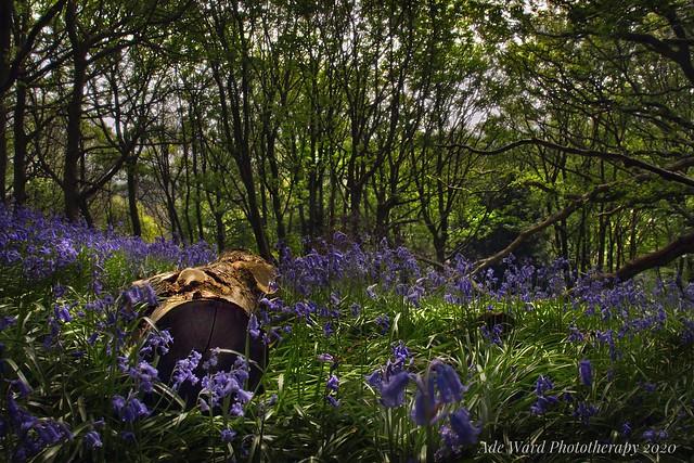 Bluebell serenity