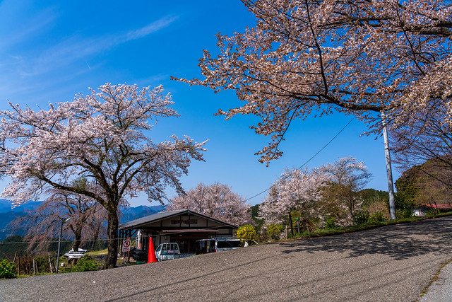 満開の桜が青空に映える