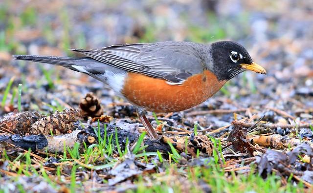 American robin at Lake Meyer Park IA 653A2653