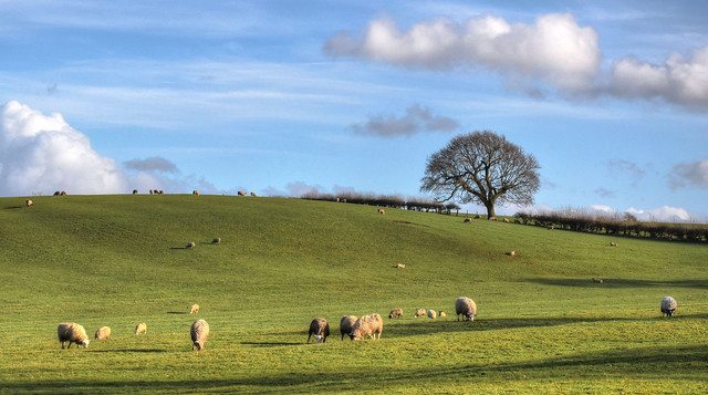 Lone tree and a flock of sheep, Northamptonshire