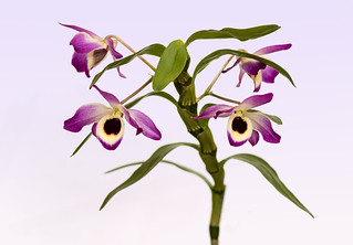 Orchid - Dendrobium Lady Coleman