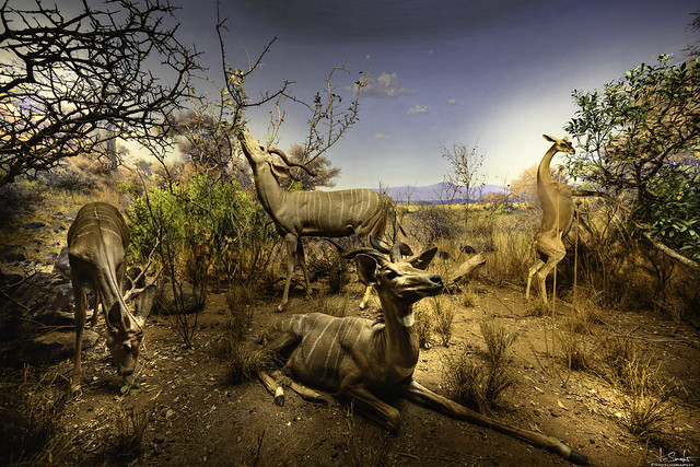 Great showcase in American Museum of Natural History - New York City - USA