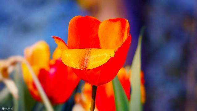 Tulipe - 8255
