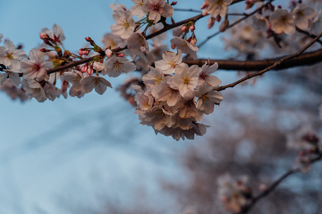 CherryBlossoms5_10