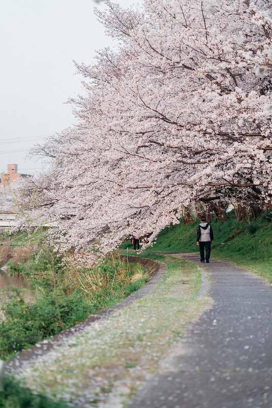 CherryBlossoms5_09