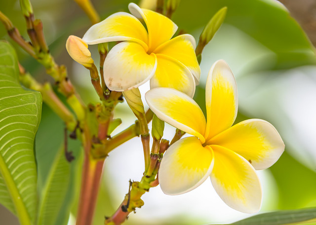 Frangipani Flowers in the Garden