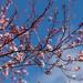 Fleurs de cerisier du Japon
