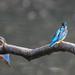 Kingfisher -202004040276.jpg