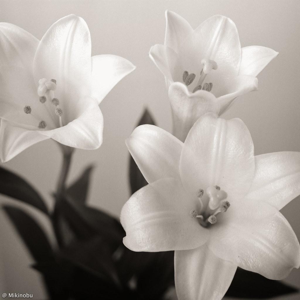 2020 Spring Yokohama #Lily