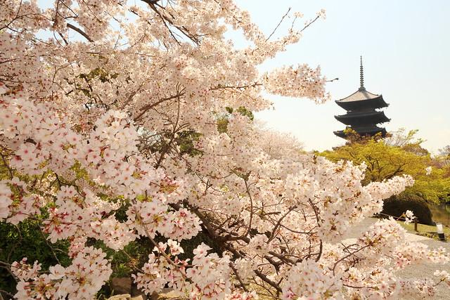 Sakura cherry in full bloom