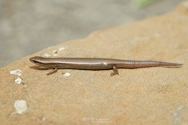 Asian Snake-eyed Skink Ablepharus pannonicus