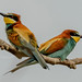 Couple bee eaters