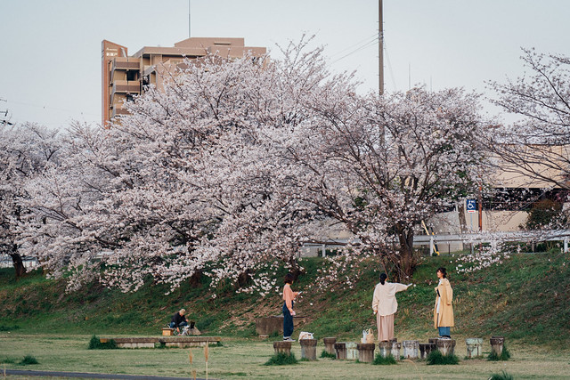 CherryBlossoms5_15