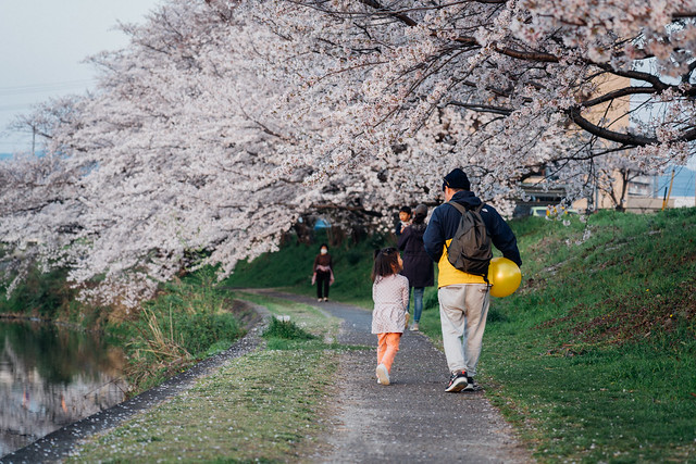 CherryBlossoms5_12