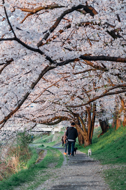 CherryBlossoms5_07