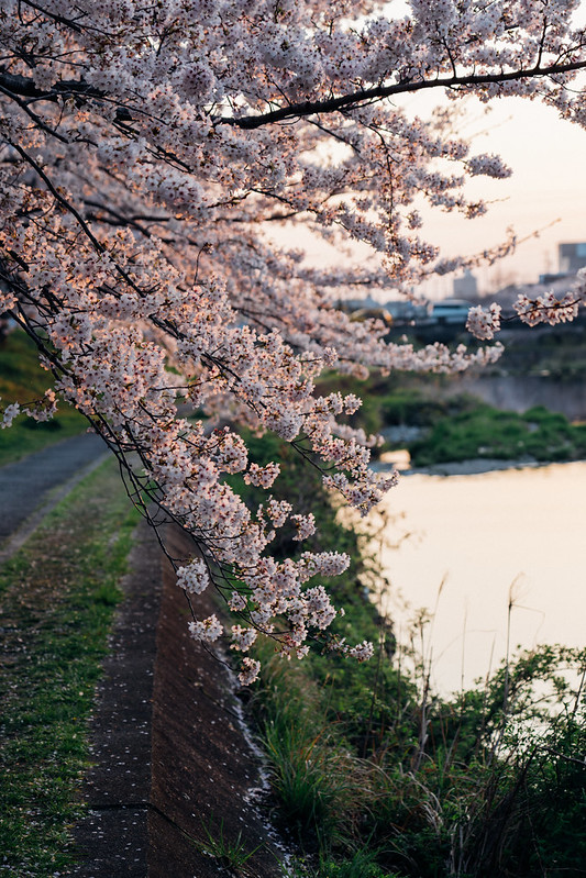 CherryBlossoms5_06