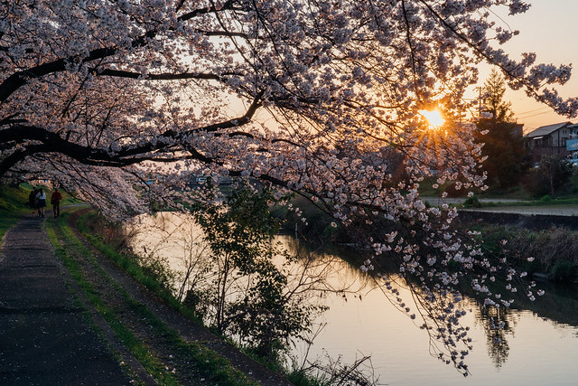 CherryBlossoms5_04