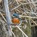 Kingfisher -202004031200.jpg