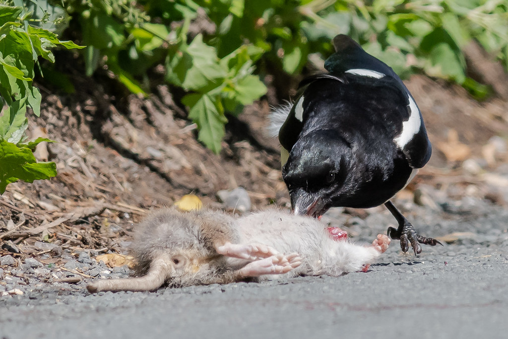 Magpie & Rat June 2019