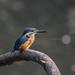 Kingfisher -202004040266.jpg