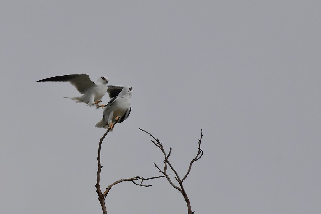 Black - shouldered Kites ( come on its to windy up here )