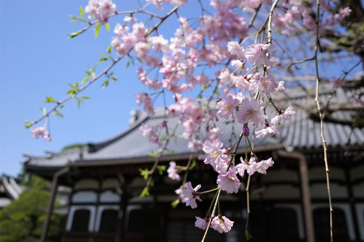 真盛寺の枝垂桜