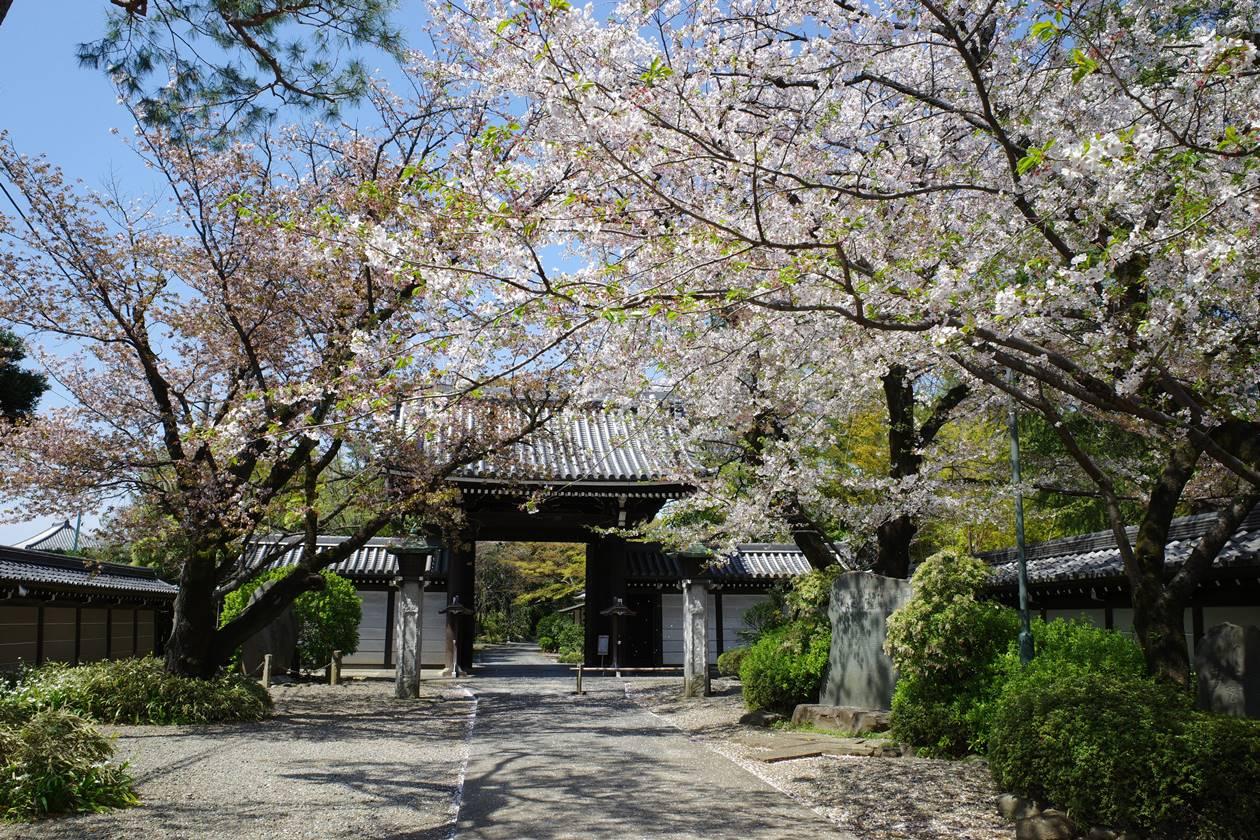 真盛寺の桜