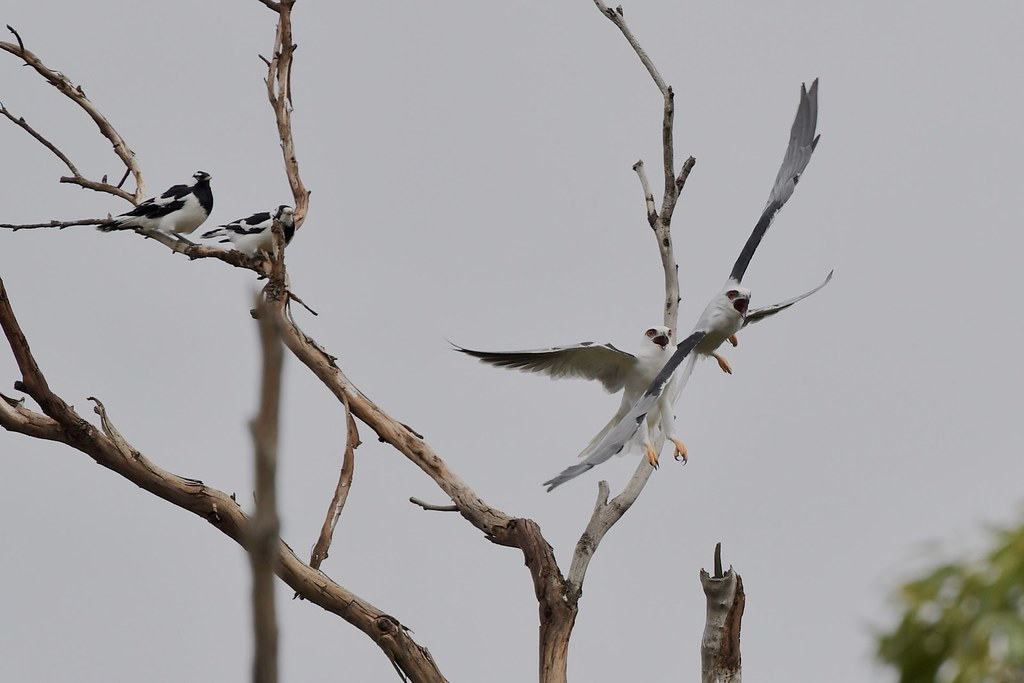 Black-shouldered Kites ( she is not happy )