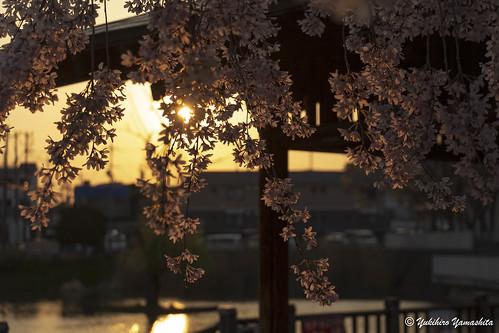 大阪 高槻市 小寺池 枝垂れ桜 osaka japan takatsuki sunset sunlight weeping cherry blossoms koteraike pond