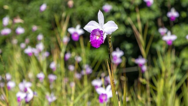Champ d'orchidées
