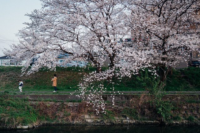 CherryBlossoms5_14