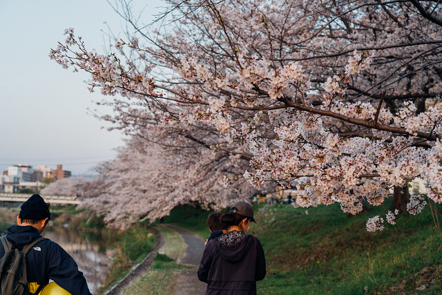 CherryBlossoms5_11
