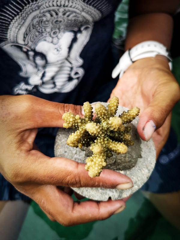 Korallien uudelleenistutus