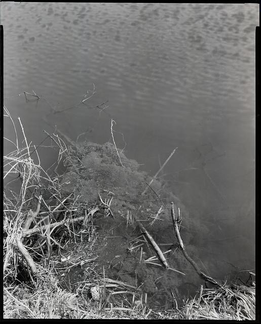 tétards étangs Calmeyn