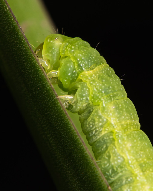Green caterpillar in the garden at night close-up