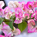 Pink bougainvillea in my garden