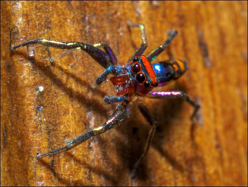 Elegant Golden Jumping Spider (Chrysilla lauta) - Male
