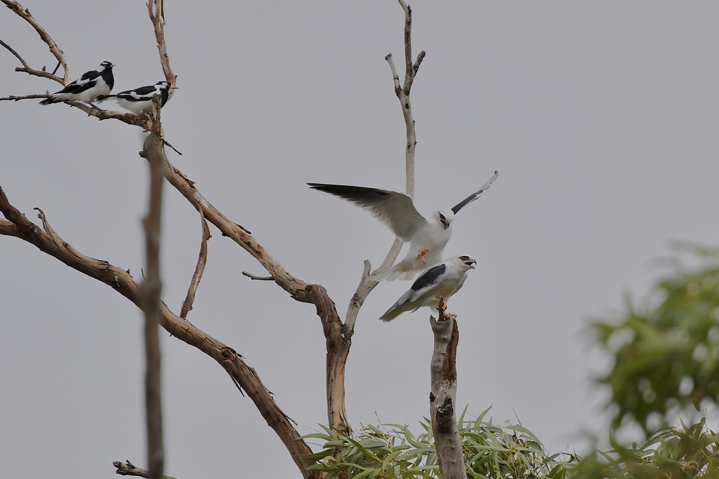 Black -shouldered Kites ( The start of a new family )