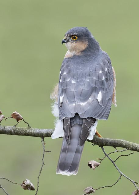 Sparrowhawk (Accipter nisus).