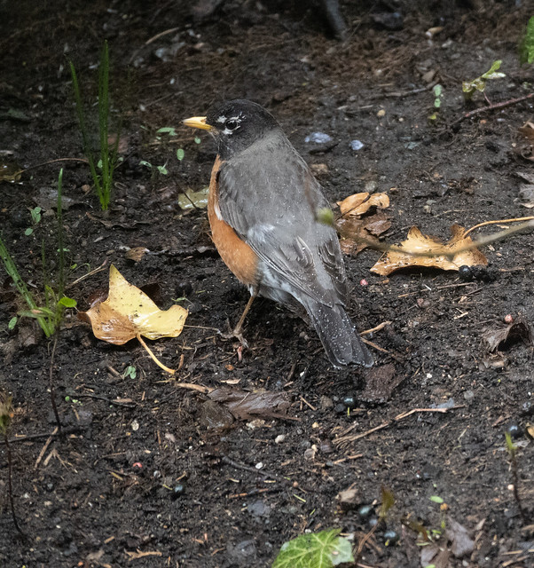 Robins in the Rain