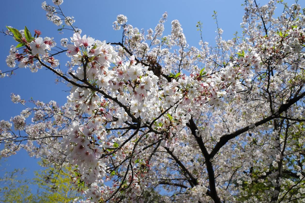杉並区真盛寺の桜