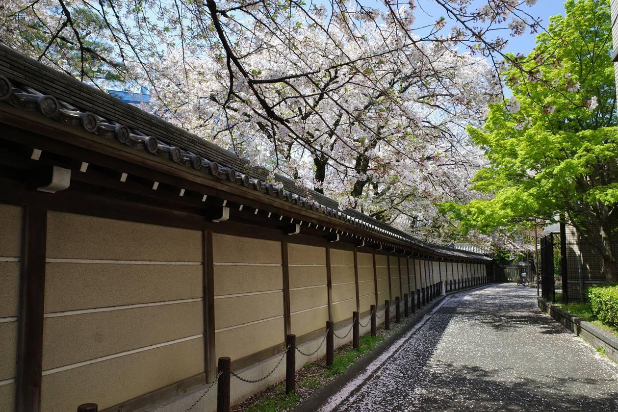 真盛寺の桜並木